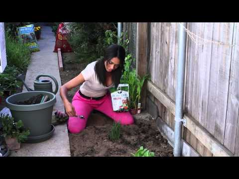 How to Fertilize Chives : The Chef's Garden