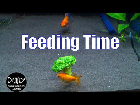 Feeding Broccoli to Goldfish