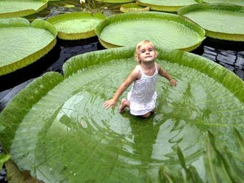 Amazing and Most Beautiful Queen Victoria Water Lily Flowers   Leaves capable to hold Human