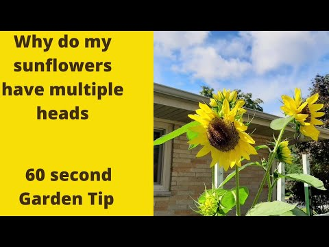 Why do my sunflowers have multiple heads? 60 second garden tip