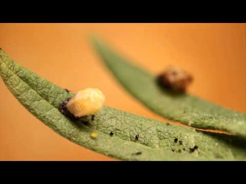 Lady Beetle Molting from Larva to Pupa (Time Lapse)