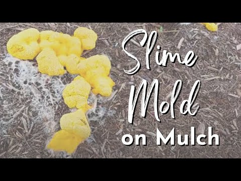Slime on Mulch | Yellow Slime on Mulch | How to Get Rid of Slime Mold