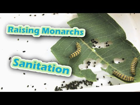 Raising Monarchs - Sanitation (Help The Monarch Butterfly)