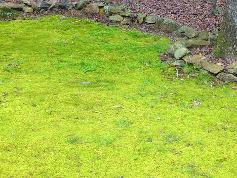 Moss Lawn using Milk and a Billy Goat