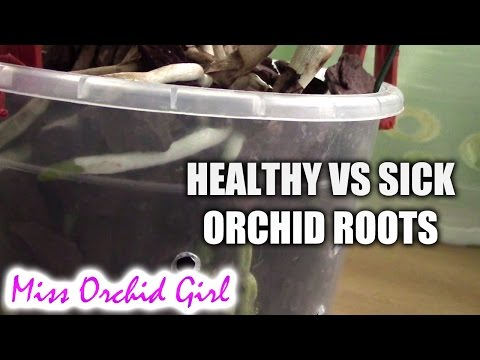Healthy vs. sick roots - How to tell if your orchid has healthy roots