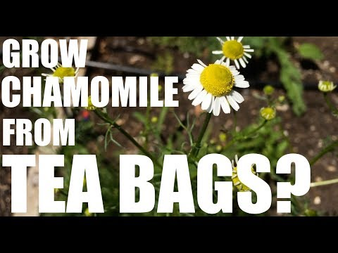 Can You Grow Chamomile from Tea Bags?