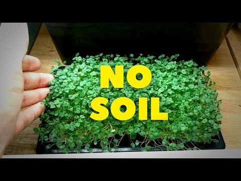Chia Microgreens - No Soil
