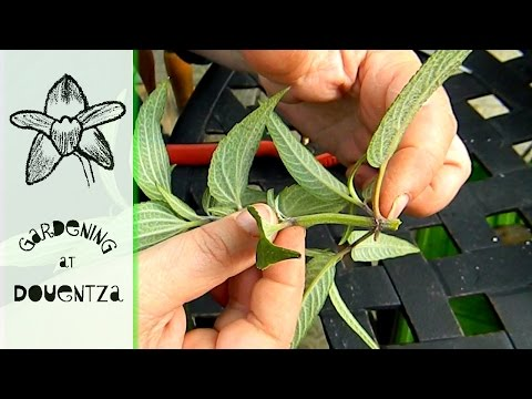 How To Propagate Salvia - taking sage cuttings in autumn