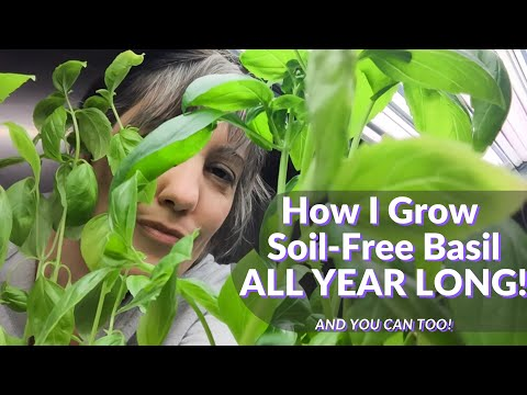How to Grow Soil-free Basil all Year Indoors