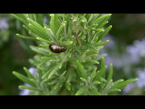 How to control Rosemary Beetle | Grow at Home | Royal Horticultural Society
