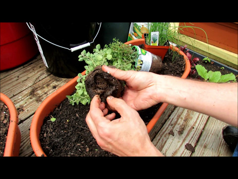 Planting Herbs in Containers: Oregano, Chives, Thyme, Mints, Basil, Sage, Rosemary, Lavender