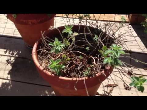 How to rejuvenate a dying neglected Oregano Plant