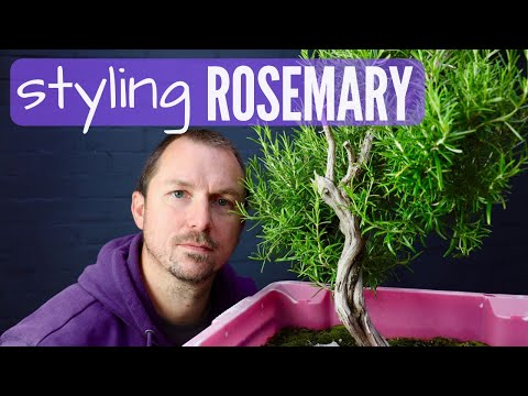 Rosemary Bonsai Material: Pruning & First Styling a Collected Rosemary (Part 1)