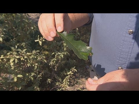 Sticky stuff falling from trees in Regina isn't sap, it's honeydew secreted by aphids