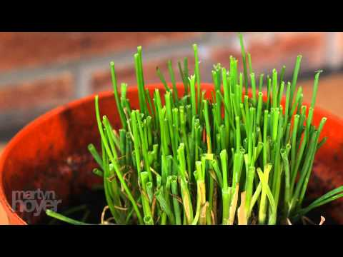 Growing chives - 3 day time lapse