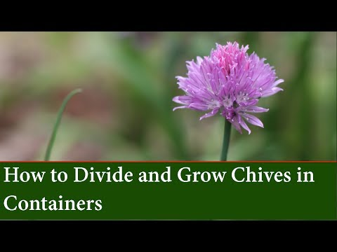 How to Propagate Chives by division and Grow Chives in Containers
