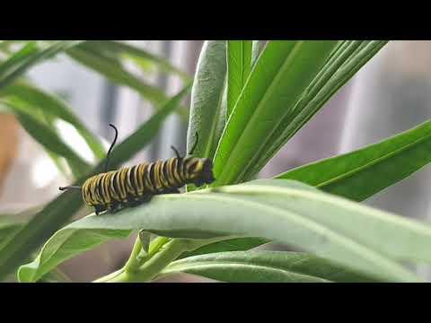 Caterpillar Poop