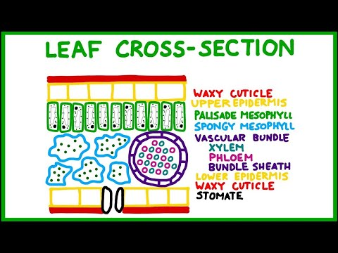 Leaf Cross-Section (Old version!)