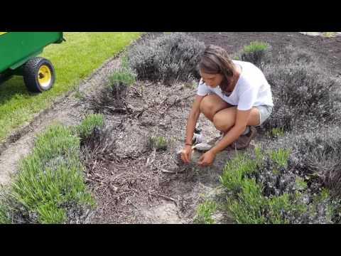 Okanagan Lavender Gardening Tip: How to Save Lavender from Winter Damage