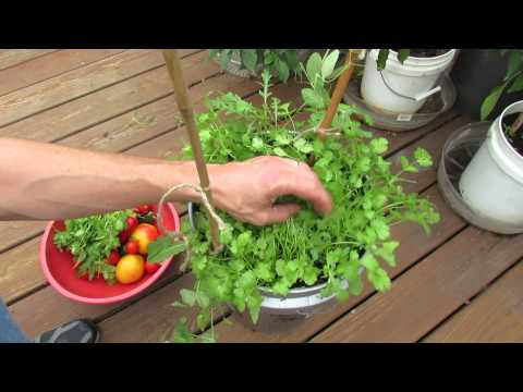 Harvesting & Growing Cilantro in 5 Gallon Containers: My 1st Vegetable Garden - MFG 2013