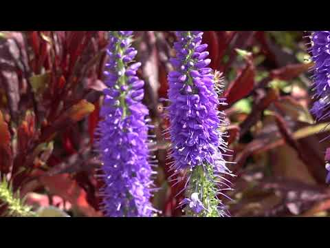 How To Grow The Perennials Salvia and Veronica