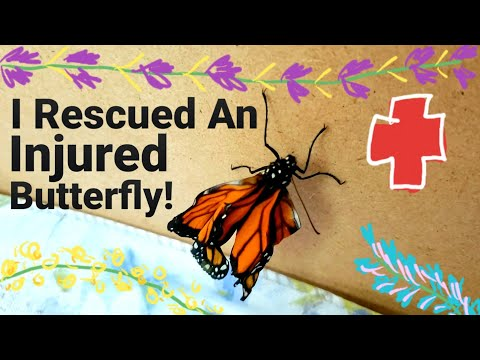 """🦋 I Rescued An Injured Butterfly - """"Wrinkles"""" 🦋"""