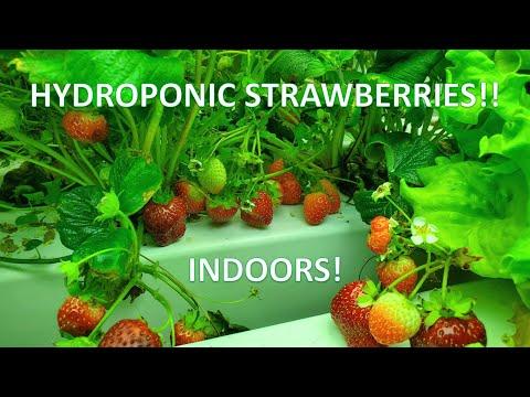 Indoor Hydroponic Strawberries: Lots of Berries!!