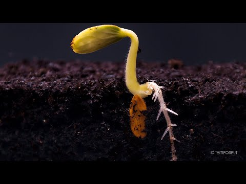 Root Growth Timelapse | Soil Cross Section