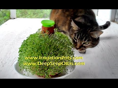Grow / Sprout Chia Seed Greens on Clay Olla Pot ~ www.IrrigationPots.com