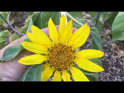 Sunflower with Multiple Heads?