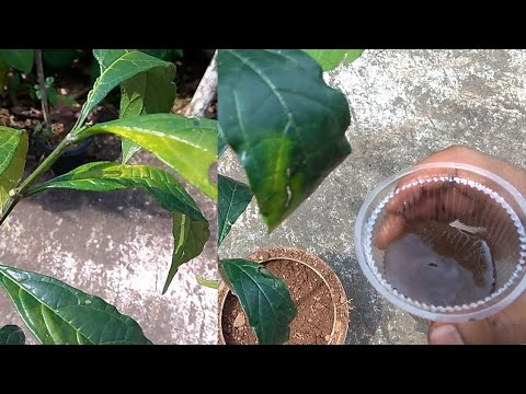 how to treat iron deficiency in plants