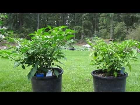 Coco Coir vs. Soil Experiment (Day 86)