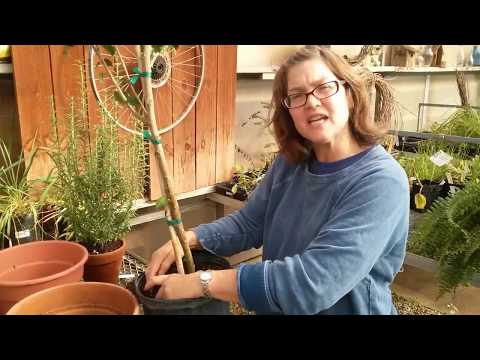 Trimming roots on potted plants