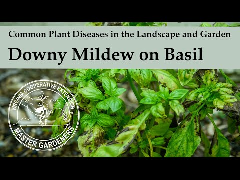 Downy Mildew on Basil - Common Plant Diseases in the Landscape and Garden