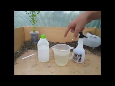How to Make a simple Organic Insecticide Spray (Aphids, Blackfly, Whitefly etc)