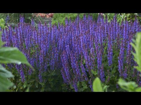 Perennial Salvia Production Tips | Walters Gardens
