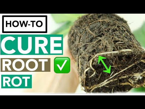 How to Get Rid of Root Rot with Household Items | Houseplant How-to Ep. 10
