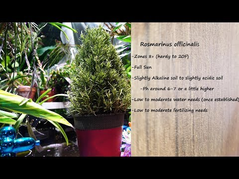 🌱 Growing Rosemary Indoors - How to Not Kill Your Rosemary