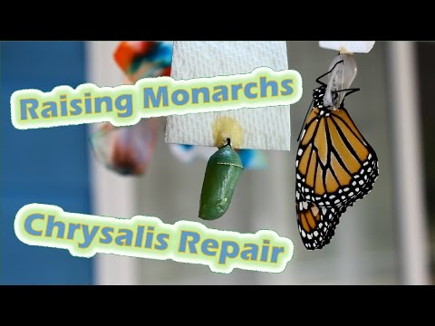 Raising Monarchs - Chrysalis Repair (Help The Monarch Butterfly)