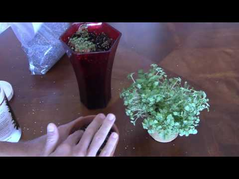 How To Grow Chia Sprouts From Chia Seeds (in 3 steps)