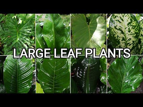 Large Leaf Plants   Decorative Plants Philippines