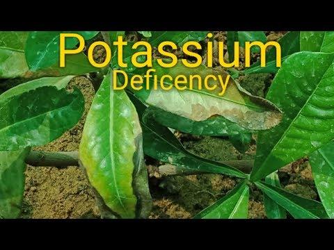 Identification of Potassium Deficiency in Plant Part - 1