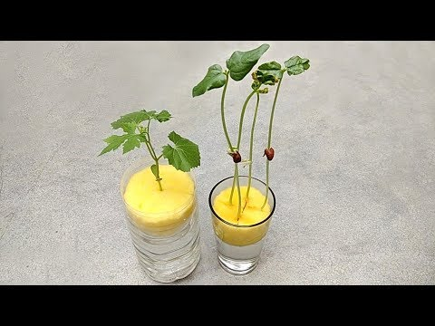 Grow plants in water | Grow plants without soil