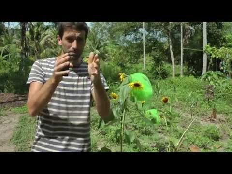 How to Hand Pollinate and Save Seeds from Sunflowers! WWN Vlog
