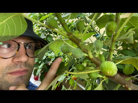 Hydroponic Fig Yielding Tons of Fruit