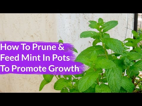 How To Prune & Feed Scraggly Mint To Promote New Growth / Joy Us Garden